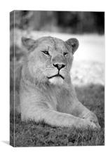 lioness 004, Canvas Print