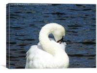 S for Swan, Canvas Print
