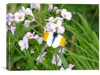 Orange Tip Butterfly, Canvas Print