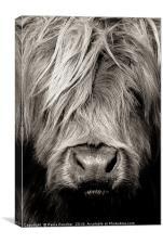 Highland cow close up, Canvas Print