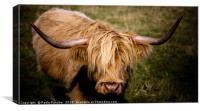 Highland Cow , Canvas Print