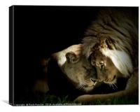 Lions in love, Canvas Print