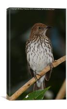 Violet Backed Starling (Female), Canvas Print