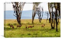 Impala amongst the trees, Canvas Print