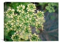Flowering Parsley with beasties , Canvas Print