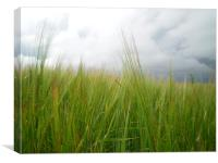 Storm clouds over barley field , Canvas Print