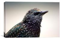 Little Starling, Canvas Print