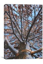 Pin Oak in Winter, Canvas Print