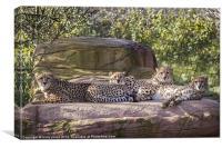 Coalition of cheetahs, Canvas Print