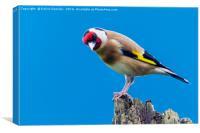goldfinch, Canvas Print
