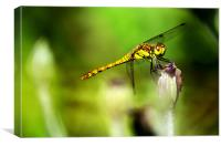 Beautiful Dragonfly, Canvas Print