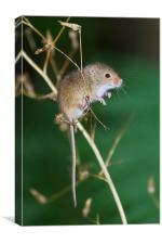 Harvest mouse balancing act, Canvas Print