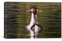 Great Crested Grebe courtship display, Canvas Print