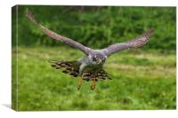 Goshawk swooping in, Canvas Print