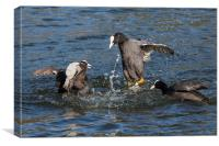 Warring coots battle it out., Canvas Print