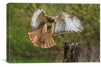 Red-tailed Hawk landing., Canvas Print