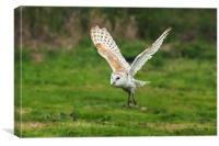 Barn owl quatering the fields. , Canvas Print