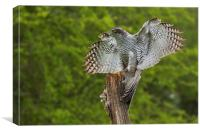 Goshawk finding its balance on a wooden post, Canvas Print