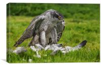 Goshawk struggling with his pigeon dinner, Canvas Print