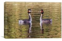 Great Crested Grebes courting, Canvas Print