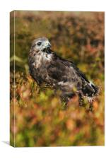 Buzzard in amongst golden autumnal vegetation, Canvas Print