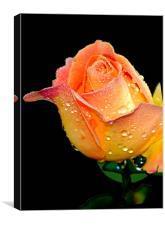 Dewdrops on rose petals, Canvas Print
