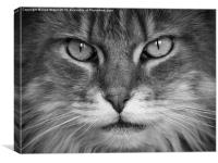 Maine Coon, Cat, Eyes, Face, Whiskers, Canvas Print