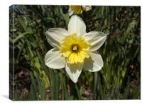 daffodil plant, Canvas Print