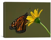 Monarch, Canvas Print