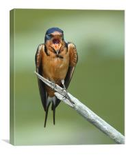 Barnswallow Shout