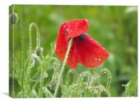 poppy in the morning dew, Canvas Print