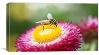 Sun Fly - Heliophilus Pendulas, Canvas Print