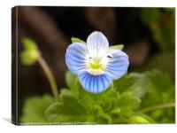 Veronica Arvensis (Corn Speedwell) in full bloom, Canvas Print