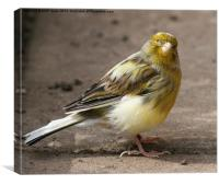 Yellow Canary Finch