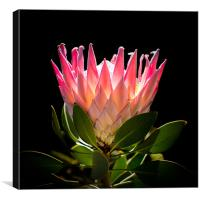 King Protea, Canvas Print