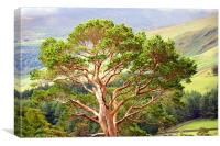 Mountain Pine Tree in Wicklow. Ireland, Canvas Print