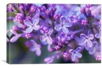 Lilac Dream , Canvas Print