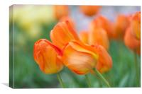 Dutch orange tulips close up, Canvas Print