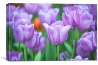 Field of beautiful purple tulips, Canvas Print