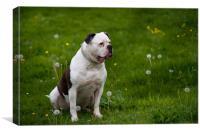 American bulldog on green spring meadow, Canvas Print
