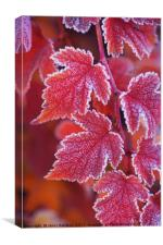Red orange frosted leaves of Physocarpus , Canvas Print
