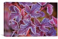 Purple frosted leaves of Physocarpus , Canvas Print