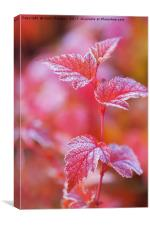 Red frosted leaves of Physocarpus , Canvas Print