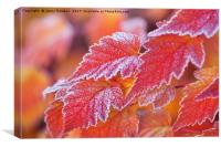Orange colored frosted leaves of Physocarpus, Canvas Print