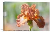 Dodge City Close Up. The Beauty of Irises, Canvas Print