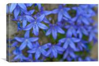 Blue Campanula garden carpet, Canvas Print
