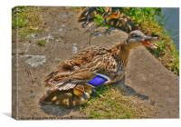 Duck and babies., Canvas Print