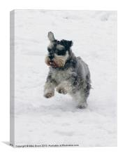 Schnauzer in the snow, Canvas Print