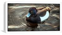 Hidden Colours (Tufted Duck), Canvas Print