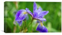 Garden collection - Iris, Canvas Print